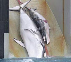 Japanese Whalers Out of Business