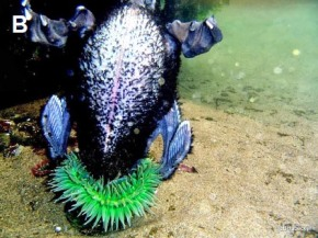 Giant Anemone Swallows Sea Bird